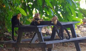 monkeys-on-table-cabo-blanco